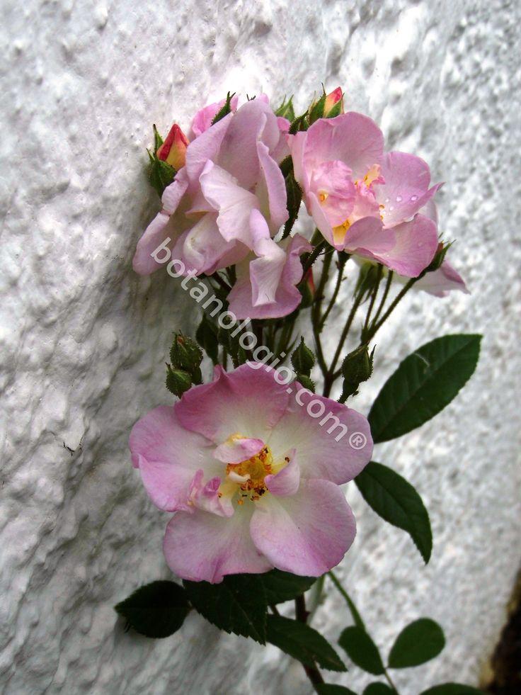 Wild rose beautiful roses!