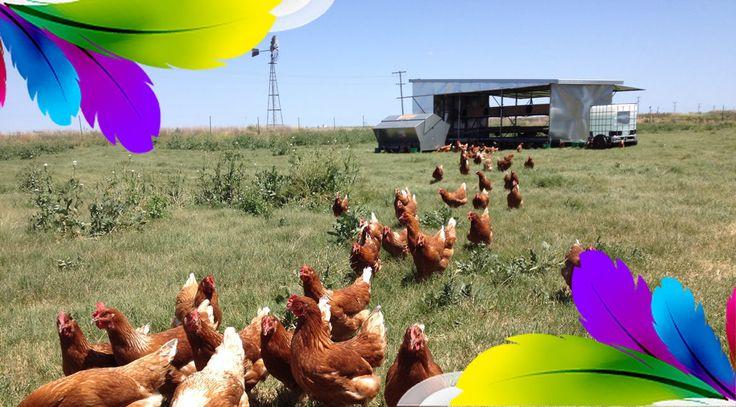 Jalbirri Googums Free range eggs Toowoomba