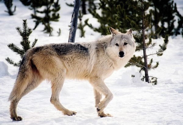 How Will Delisting Affect California's Part-Time Wolf Population? | Mammals | Rew ild | KCET  http://www.kcet.org/news/redefine/rewild/mammals/how-will-delisting-affect-californias-part-time-wolf-population.html