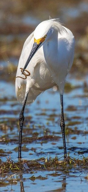All About Birds Great Egret >> Garceta Nivea Snowy Egret Schmuckreiher Aigrette Neigeuse