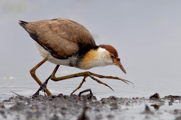 Comb Crested Jacana - Irediparra gallinacea
