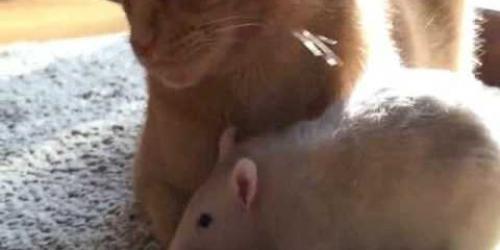 Ratten zijn dol op huiskat. Als de kat naar ander plekje verhuist volgen de ratten.