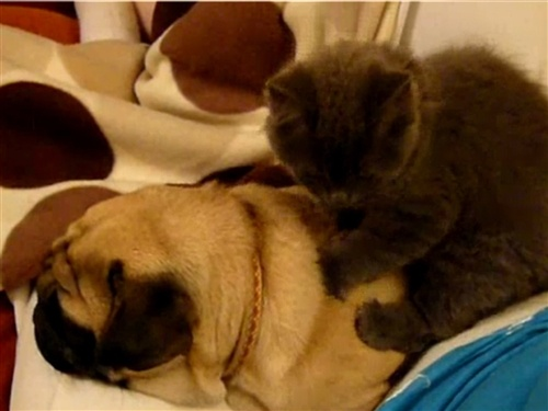 That's the spot! Cat gives sleeping pug a massage: Cats, Cat Massage, Sleep Pugs, Massage Lol, Massage Dogs, Pugs Massage, Adorable Things, Crabs, Adorable Videos
