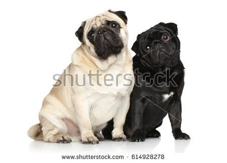 Two pugs. Portrait on white background
