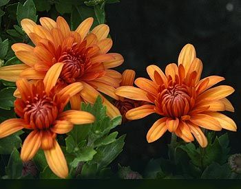 The November Birth Flower is the Chrysanthemum meaning with love and cheerfulness.