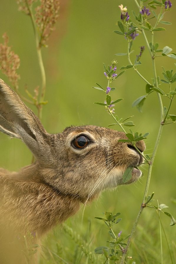 hares are bigger, born raise above ground, can see, hear, born with furs. longer legs etc   I like the closeup and background color of the photo.