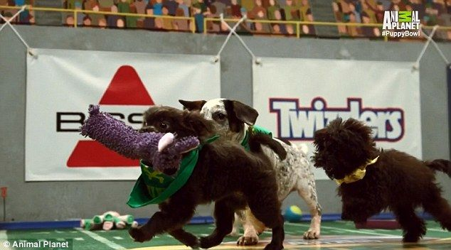 Teams: Tensions were high Sunday as, for the first time in Puppy Bowl history, the pups battled it out in teams: Team Ruff and Team Fluff