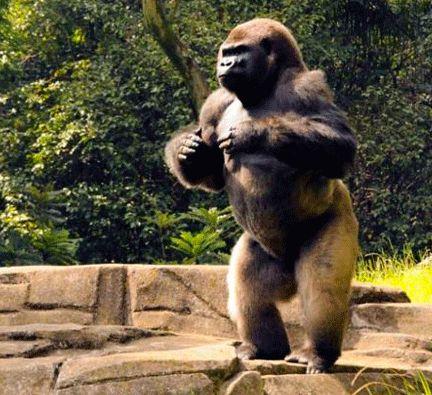 Muere el gorila Bantú del Zoológico de Chapultepec