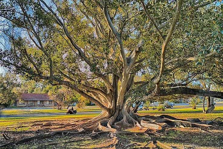 fig tree #Applecross #Perth #thisisWA