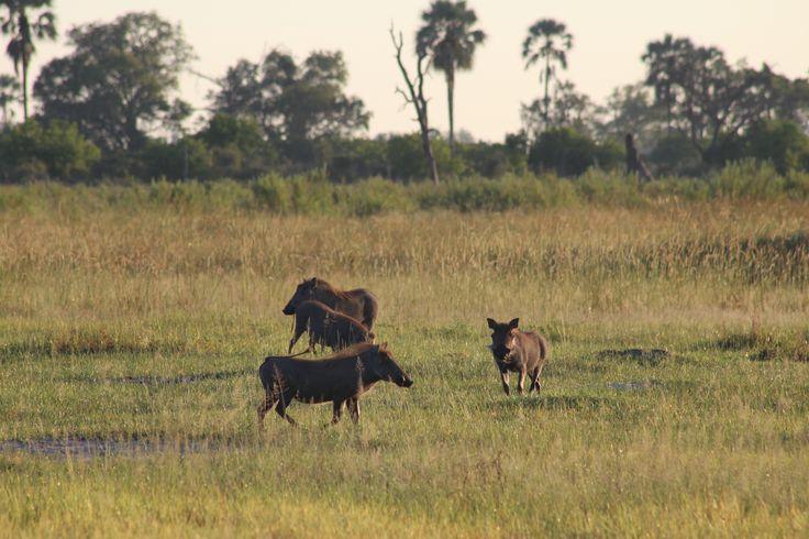 Wartogs i Okawango.