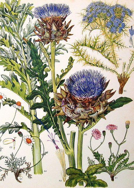 Botanische illustratie