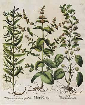 122606 Mentha spicata L. [as Mentha crispa]  [syn. Mentha crispa L.] / Bessler, Basilius, Hortus Eystettensis, vol. 2:  Septimus ordo collectarum plantarum aestivalium, t. 232, fig. I (1620) [B. Besler]