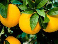 Oranges-Maleme Crete