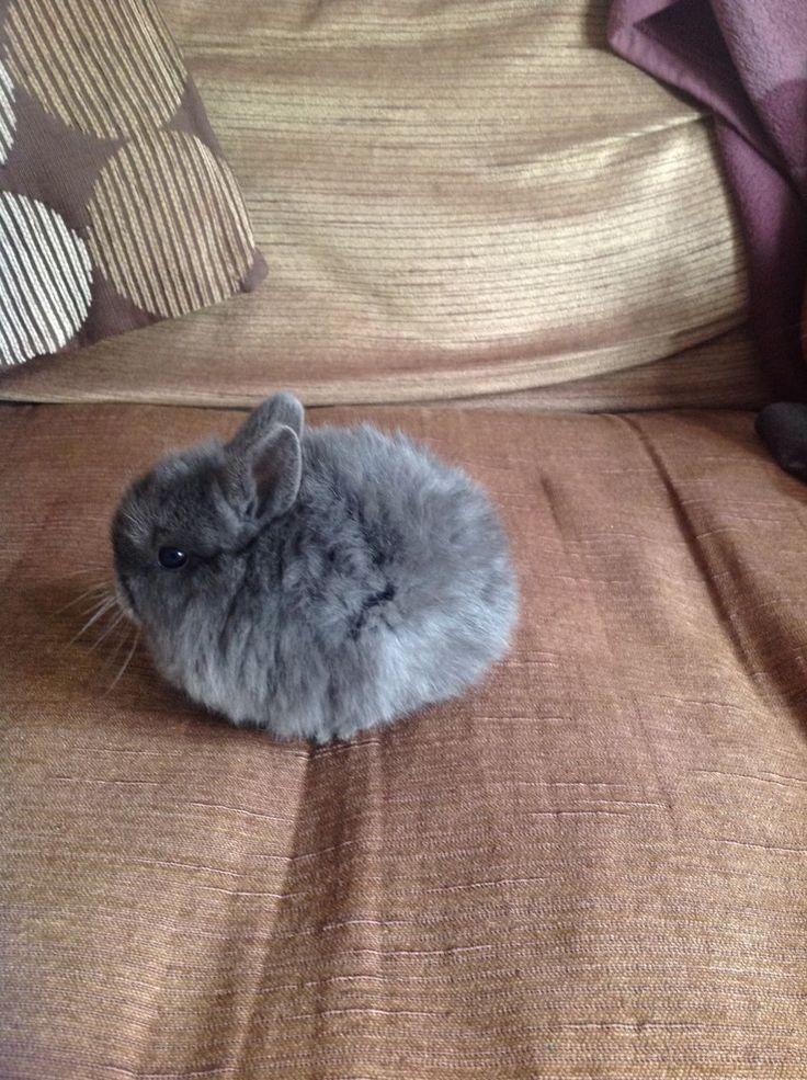 Netherland Dwarf - ball of fur!