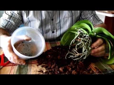 Rinvaso Phalaenopsis - YouTube