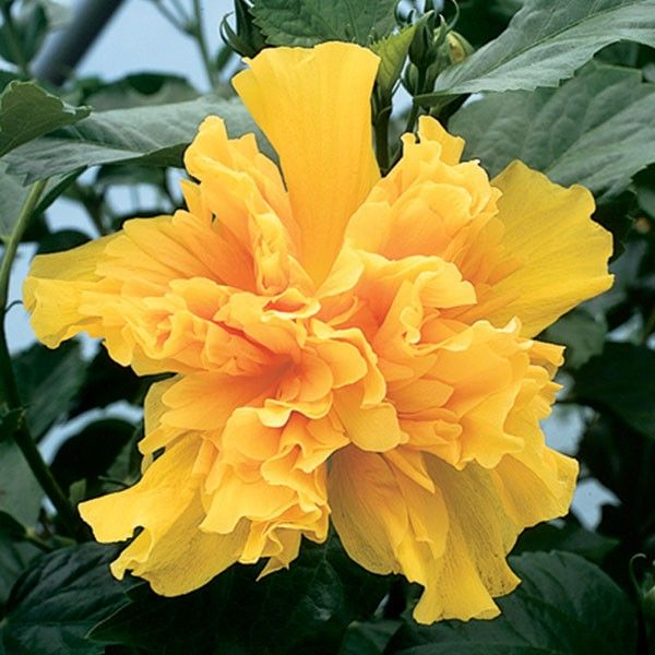 Hibiscus 'Peggy Hendri' (Hibiscus rosa-sinensis hybrid) has Crepe paper-like blooms