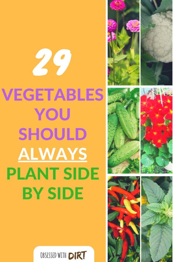 Growing some vegetables side-by-side can have positive effects on one or both of the plants involved. This method of planting is called companion planting, as in, a companion who supports its partner. Companion gardening is incredible easy and a great way