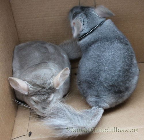 Chinchilla Colors Guide - Beige Sapphire Chinchilla Brothers