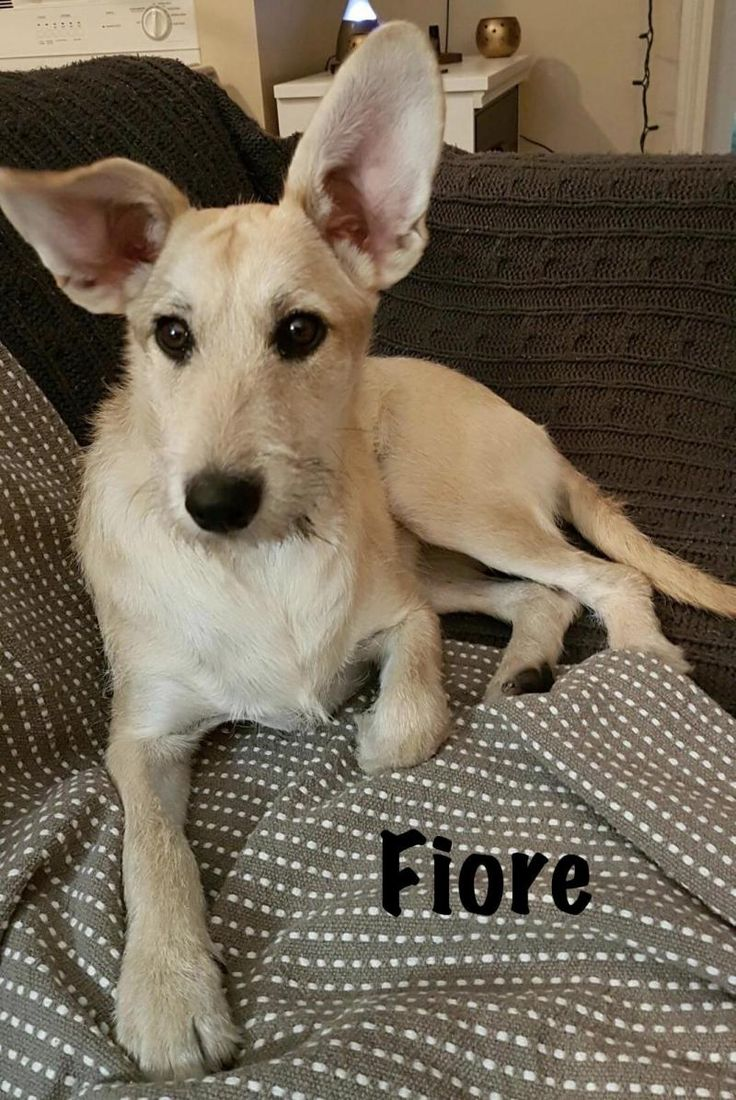 Fiore is an adoptable Schnauzer searching for a forever family near Calgary, AB. Use Petfinder to find adoptable pets in your area.