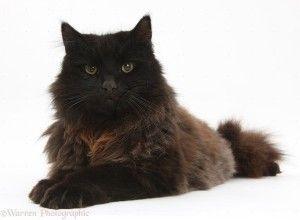 York chocolate cat, Scruffy