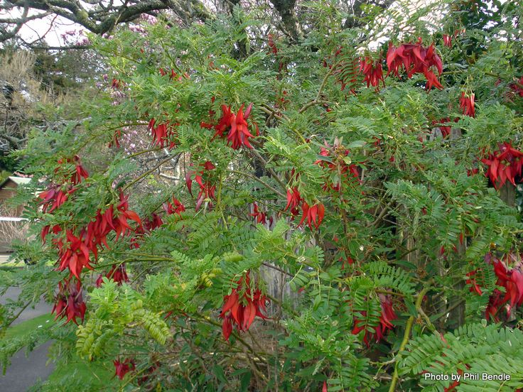 Clianthus puniceus (Kaka Beak) Kaka beak grows to around two metres high, with spreading branches producing leaf stalks up to 15 cm long bearing several pairs of small leaflets. They usually flower from spring through to early summer, but can flower twice a year or even year round.