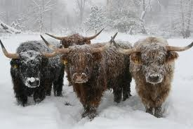 scottish highland cattle snow  scottish highlands