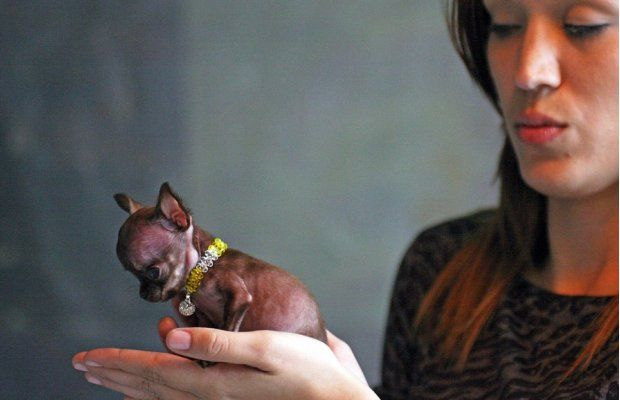Guiness Names the World's Smallest Dog
