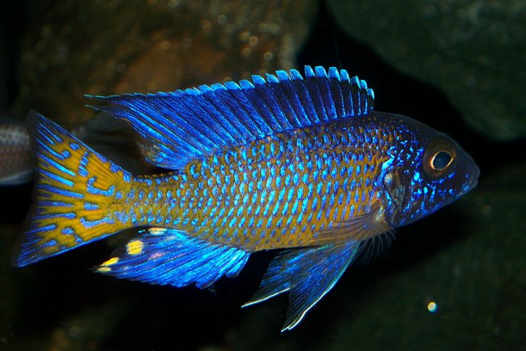 Ngara Flametail Peacock Cichilds Pinterest