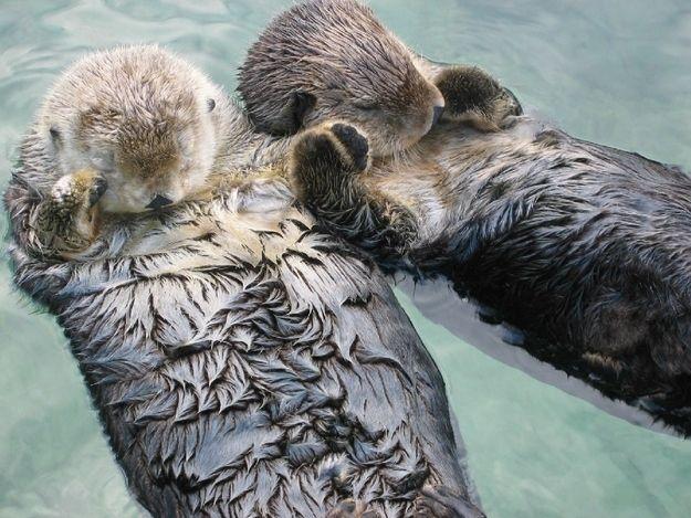 Seeotter halten ihre Pfoten während sie schlafen damit sie nicht voneinander weg treiben.