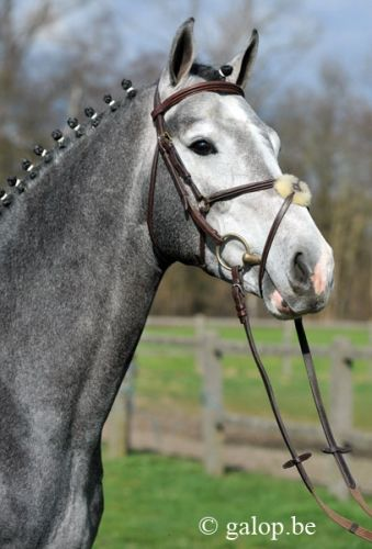 Captain of Overis Z Stallion | 01-05-2009 | Zangersheide | gray | The father of this stallion is Clintissimo