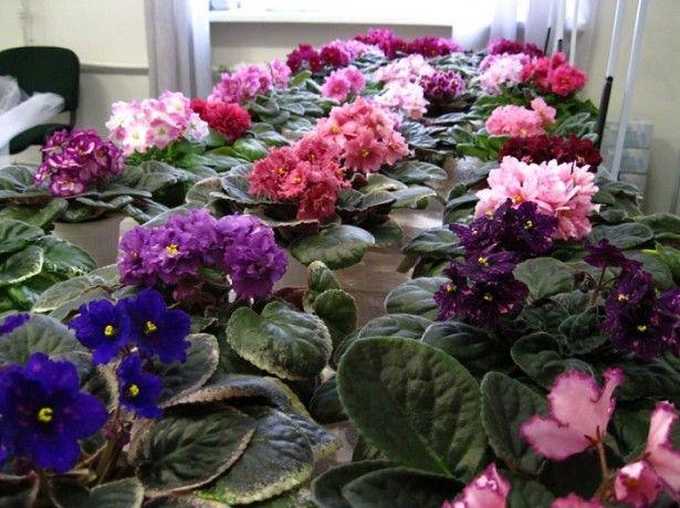 Правильный уход за фиалками гарантирует обильное цветение на вашем подоконнике