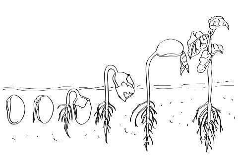 imagens p colorir ciclo de vida das plantas - Pesquisa Google