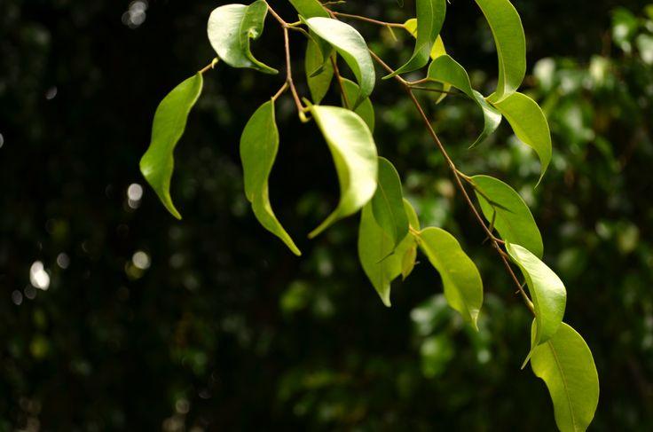 Hojas verdes, hojas negras