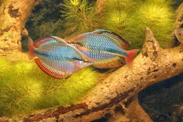 34 best rainbow fish images on pinterest fish aquariums for Rainbow fish species