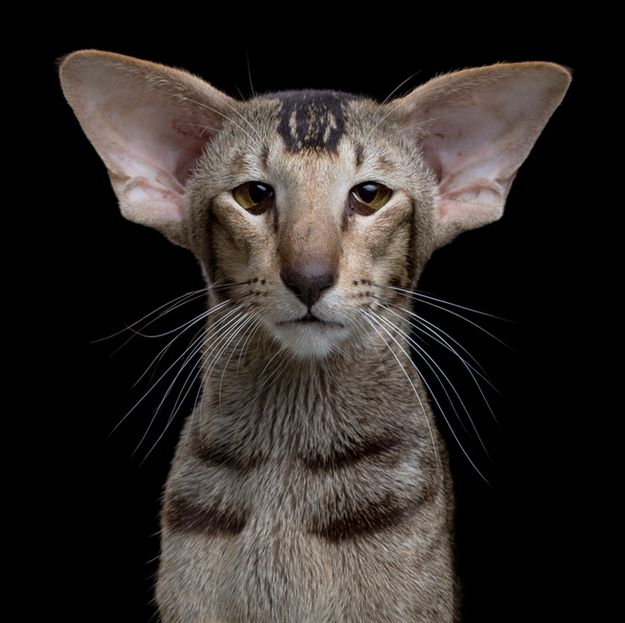 Oriental Shorthair | These Stunning Photos Prove Cats Are Just As Diverse As Dogs