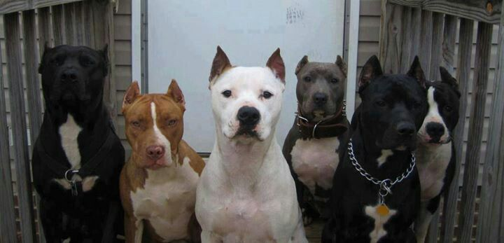 Six pitbull dogs