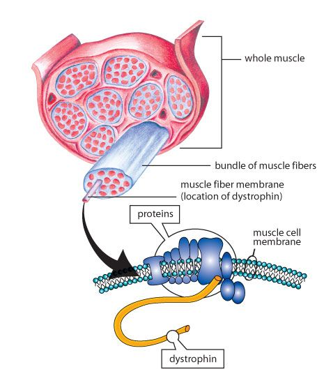 Duchenne Muscular Dystrophy - Dystrphin Gene