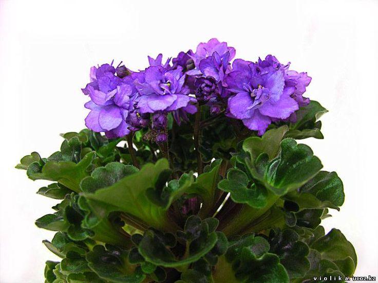 Water Nymph' (селекционера установить не представляется возможным) Крупные полумахровые лавандово-сиреневые цветы с синим фэнтази; светло-зеленый волнистый и складчатый гел-лист. Полумини.