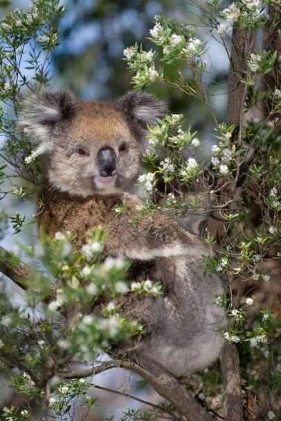 Koala, Victoria, Australia