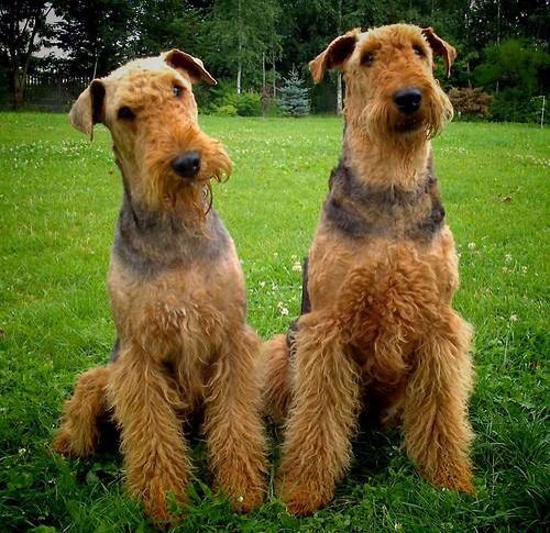 95 best images about Airdale Terrier Love on Pinterest  Dog sleeping, Airedale terrier and Puppys
