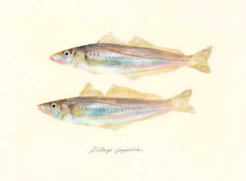 "Sillago japonica / Japanese whiting / ""Shirogisu"" (シロギス Sillago japonica : uonofu 魚の譜から)"