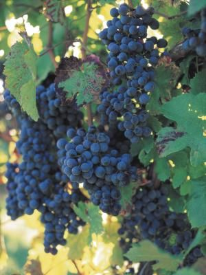 Grape arbors add vertical interest and shade to the garden, and are especially attractive when two or three different grapes are planted together. While grapes (Vitaceae spp.) grown on an arbor may ...