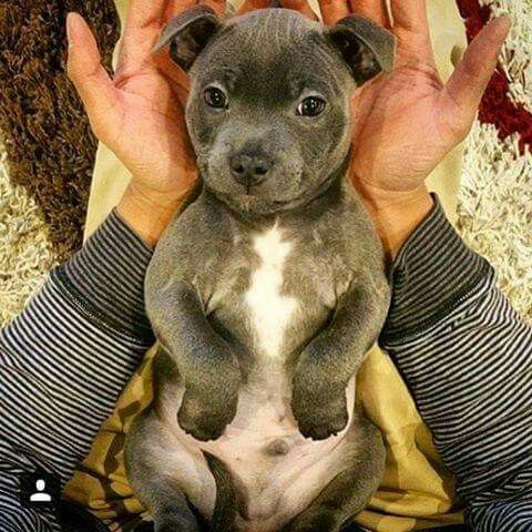 Pibble Cutie! #lovedogs                                                                                                                                                                                 More