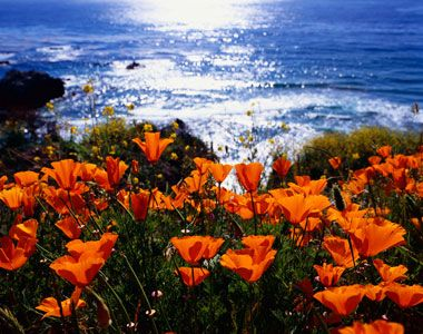 California Poppies...my second favorite.  I remember (I'm pretty sure illegally) picking them with my mom in Thousand Oaks when I was little.: California Poppies, Favorite Places, Monterey California, Big Sur, States Flower, Flower Fields, U.S. States, California Coast, The Sea