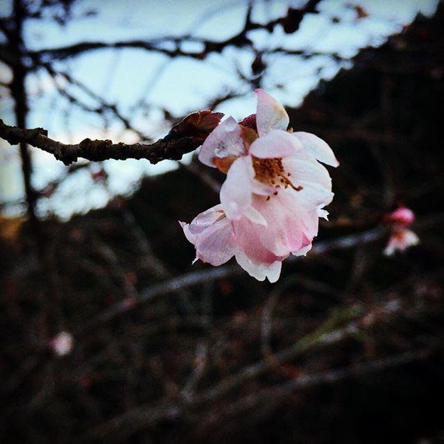 【w650pirate】さんのInstagramをピンしています。 《十月桜 と書いてあった 冬に咲く桜。 桜を見ると笑顔になってしまう。不思議な花。🌸 #名栗#里山#田舎#空 #naguri  #sky #cloud  #country #village #温泉#spa#さわらびの湯#sawarabinoyu#mountain#view#山#木#saitama#japan#名栗渓谷#naguriValley#川#河#river#桜#十月桜#cherryblossom#花#flower》