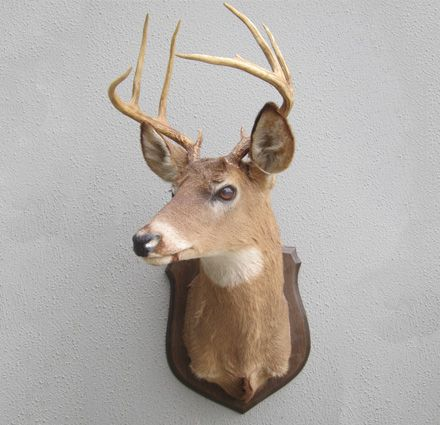 South Pacific Taxidermy Whitetail Deer on Shield #taxidermy #animalart