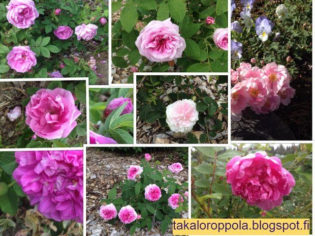 Takalo-Roppolan puutarha- ja mansikkatila: RUUSUT- pink roses