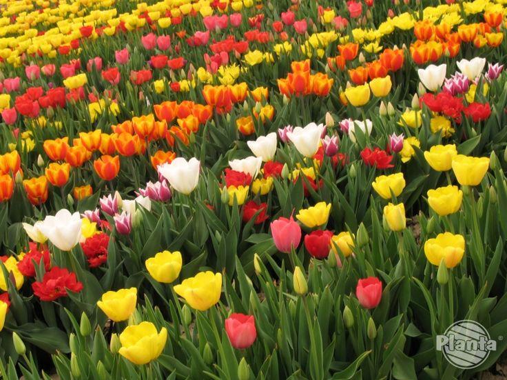 Jak sadzić rośliny cebulowe kwitnące wiosną