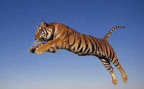Afbeeldingsresultaat voor tijger
