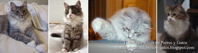 El origen de los gatos siberianos se encuentra en las grandes zonas boscosas de Rusia y Ucrania. El gato siberiano fue reconocido como raza de gato sólo hace unos años por la World Cat Federation (WCF).